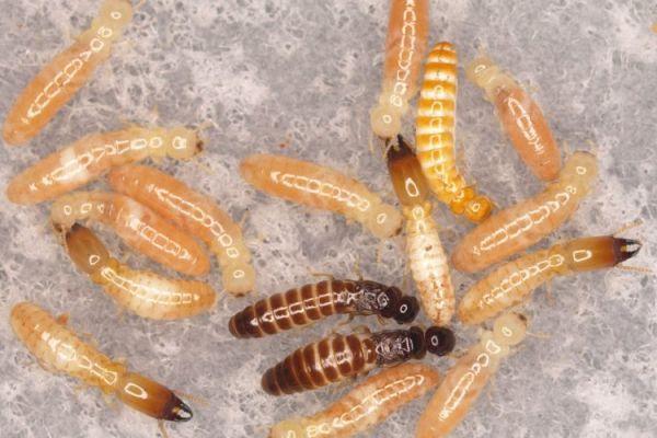 termitasB66459D4-2D3C-80A4-1AC2-76877815268B.jpg